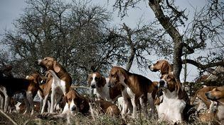 Une meute de chiens de chasse, le 22 janvier 2009. (JEFF PACHOUD / AFP)