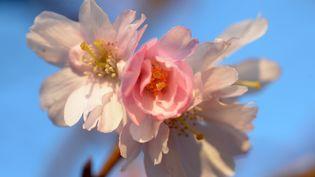 Une fleur de cerisier en Allemagne, le 20 février 2014. (FEDERICO GAMBARINI / DPA)