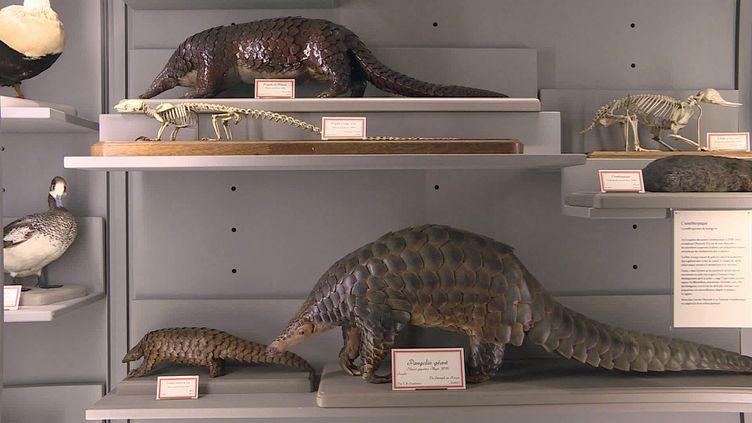 Les pangolins géants au Muséum d'Histoire naturelle de La Rochelle (France 3 Poitou-Charente)