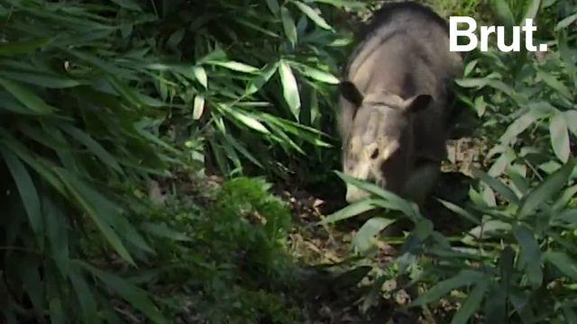 En Malaisie, le dernier rhinocéros mâle de Sumatra vient de mourir. Tous les efforts sont déployés pour que cette espèce ne disparaisse pas de la surface du globe.