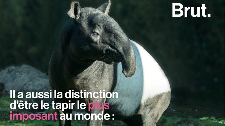 VIDEO. Le tapir de Malaisie, le tapir le plus imposant au monde (BRUT)