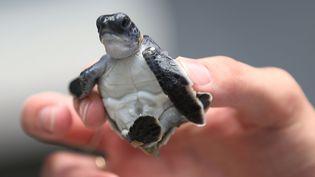 Les bébés tortues ne mesuraient qu'environ 7 centimètres de diamètre.Voici une petite tortue verte qui se prépare à regagner l'océan. (JOE RAEDLE / GETTY IMAGES NORTH AMERICA / AFP)