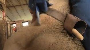 Une cloche glissée sur le cou d'une brebis (France 2)