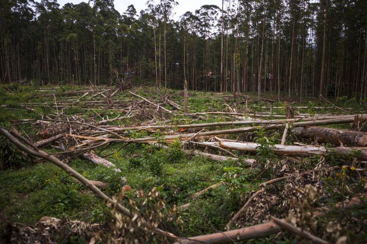 Parcelle forestière à Butembo, dans le nord-est de la RDC, le 12 novembre 2016. Dans cette région dépourvue d'électricité, les arbres sont coupés pour permettre de chauffer l'eau qui fournit ensuite de la vapeur à une usine de savon. (EDUARDO SOTERAS / AFP)