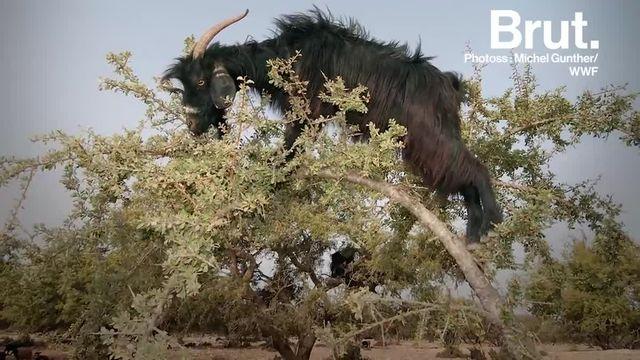 Des chèvres perchées au sommet d'un arbre... Voilà pourquoi cette scène est tout à fait ordinaire dans cette région du Maroc.