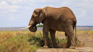 Un éléphant au Amboseli National Park au Kenya, le 2 novembre 2016. (THOMAS MUKOYA / REUTERS)