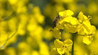 L'Union européenne interdit trois néonicotinoïdes dangereux pour les abeilles, dans un vote du 27 avril 2018. (MAXPPP)
