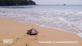 Envoyé spécial. Avec le Covid et l'absence des touristes, les tortues sont de retour sur les plages de Thaïlande (ENVOYÉ SPÉCIAL  / FRANCE 2)