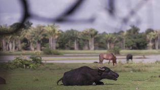 Au Brésil, une île du fleuve Amazone ressemble à un décor du Far West, avec ses buffles plus nombreux que ses habitants.  (FRANCE 2)