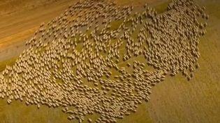 Moutons Mérinos (FRANCE 2)