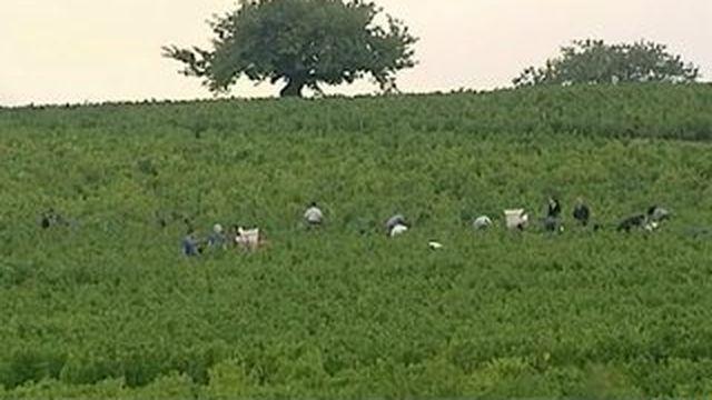 Les travailleurs des vignes, prêts pour les vendanges