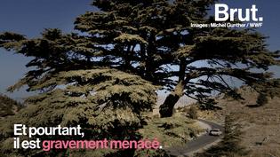 VIDEO. Au Liban, le cèdre emblématique gravement menacé (BRUT)