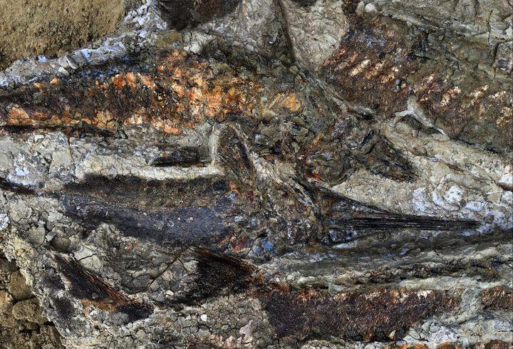 Des fossiles de poissons vieux de 66 millions d'années découverts dans un excellent état de conservation par une équipe de chercheurs américains, sur le site de Tanis, dans le Dakota du Nord. (ROBERT DEPALMA / KANSAS UNIVERSITY)