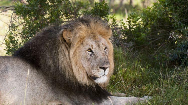 Un lion dans le parc de laKariega Game Reserve en Afrique du Sud le 19 avril 2010. (SERGIO PITAMITZ / ROBERT HARDING HERITAGE / AFP)