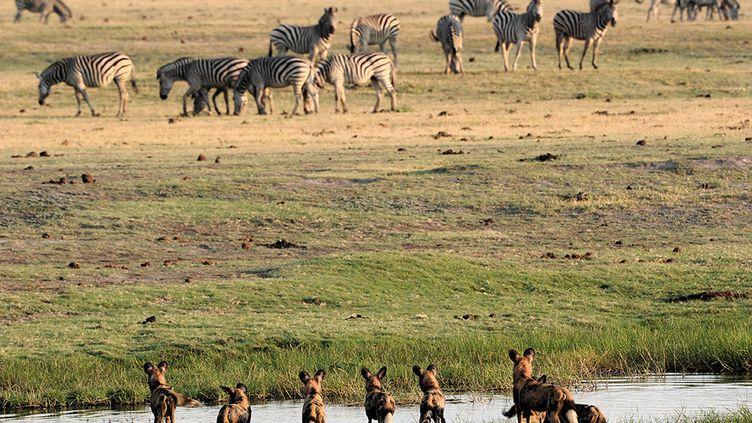 Le lycaon vit en meute principalement dans le sud du continent africain, dans le Kavango Zambezi ou Kaza, la plus grande réserve naturelle du monde (520.000 km²). Qui se situe sur la zone transfrontalière de cinq pays: Angola, Bostwana, Namibie, Zambie et Zimbabwe. On trouve aussi des lycaons en Afrique du Sud et dans l'est du continent. Le George Adamson Wildlife Preservation Trust (GAWPT) lutte pour sa sauvegarde et sa réintroduction dans le gigantesque écosystème protégé africain (3.300 km²) composé du parc Tsavo au Kenya et du parc Mkomazi en Tanzanie. (MICHEL BUREAU / BIOSPHOTO / AFP)