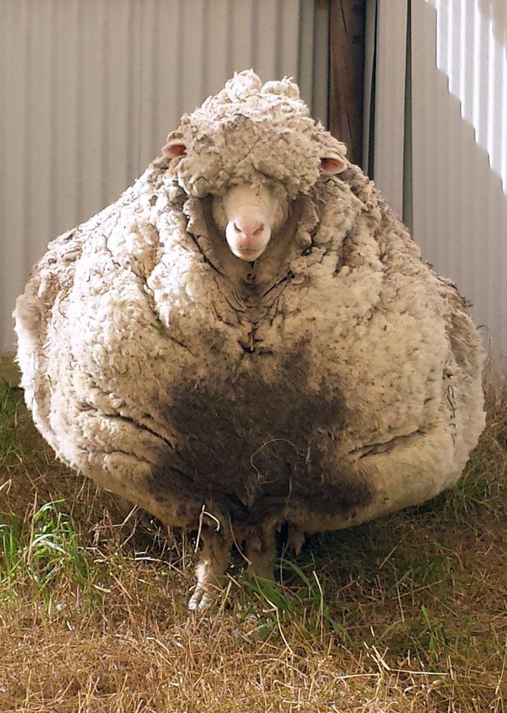 Un des moutons les plus laineux au monde a été retrouvé abandonné près de Canberra (Australie), selon l'association RSPCA, le 2 septembre 2015. (RSPCA / AFP)