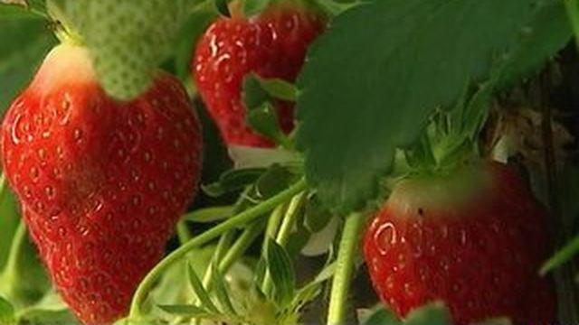 Les fraises du Nord arrivent à maturité
