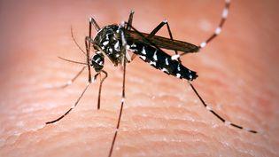 Un moustique tigre, le 10 septembre 2014, en France. (CDC / BSIP / AFP)