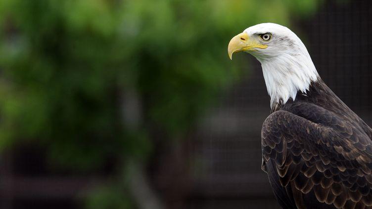 Un pygargue à tête blanche, l'emblême des Etats-Unis, sauvéde l'extinction par les lois américaines de protections de la faune. (JEAN-CHRISTOPHE VERHAEGEN / AFP)