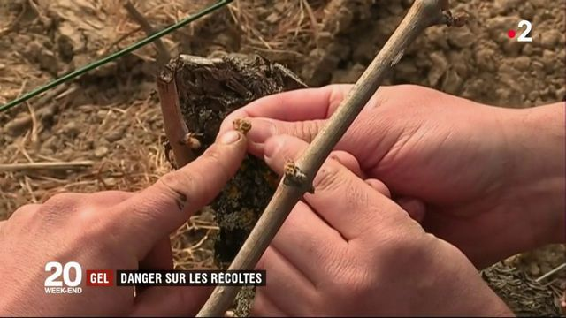 Gel : les récoltes en danger