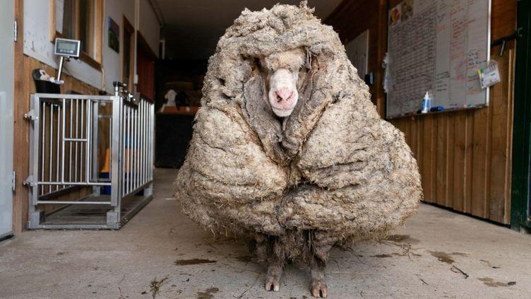 Le mouton Baarack avant sa tonte, dans un refuge de l'Etat de Victoria (Australie), le 25 février 2021. (EDGARS MISSION/ AFP)