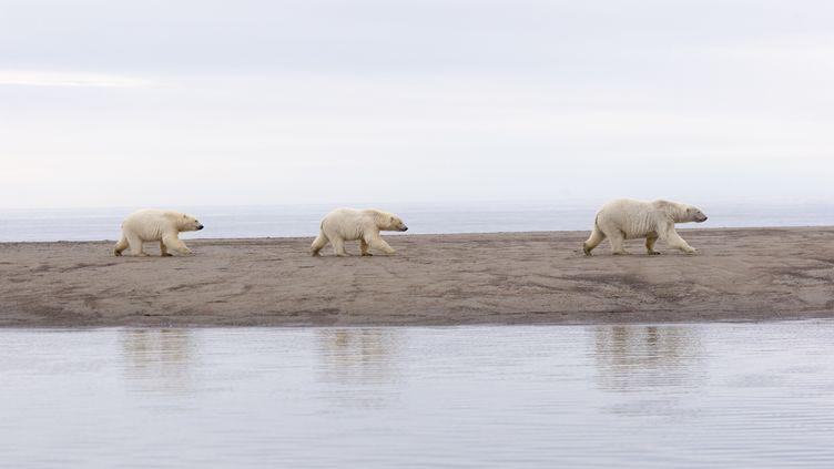 Des ours polaires à l'intérieur durefuge national de la faune arctique, en Alaska, le 28 novembre 2018. (SYLVAIN CORDIER / BIOSPHOTO / AFP)