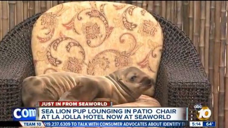 Capture d'écran d'une vidéo de ABC 10 montrant une petite otarie dans un hôtel californien. (ABC10 / FRANCETV INFO)