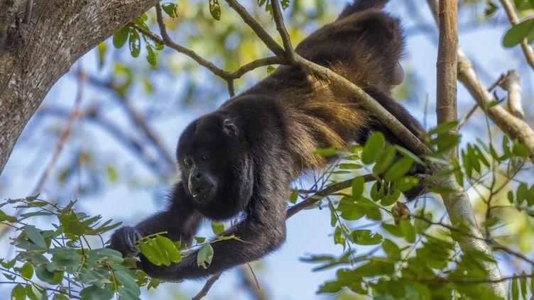 Un singe hurleur à manteau àNosara au Costa Rica en janvier 2011. (ROB FRANCIS / ROBERT HARDING PREMIUM / AFP)