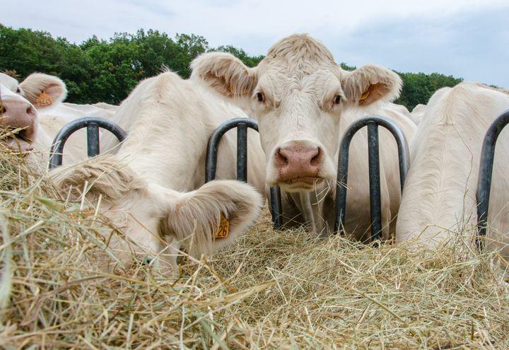 Les vaches charolaises d'Aurélien Desforges se nourissent déjà de foin, le 27 août 2019 à Lussat (Creuse). (THOMAS BAIETTO / FRANCEINFO)