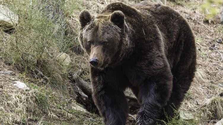 Un ours brun dans la réserve animalière du parc naturel des Pyrénées. (MAXPPP)