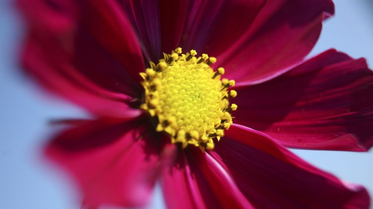 Une rose de Picardie. Photo d'illustration. (BSIP / UNIVERSAL IMAGES GROUP EDITORIAL via GETTYIMAGES)