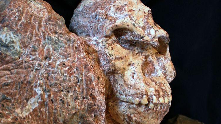 Little Foot, premier squelette presque complet d'australopithèque, vieux de 3,5 millions d'années (Ron Clarke)