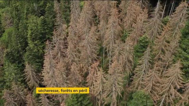 Sécheresse et canicule : les forêts en péril