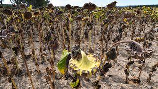 Un champs de tournesols, dans le Gard, le 20 août 2019. (PASCAL GUYOT / AFP)