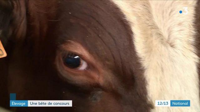 Lot-et-Garonne : à la rencontre de Pépère, en lice dans le concours du taureau le plus sexy de France