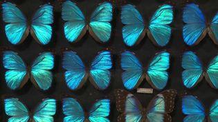 Une collection extraordinaire de papillons vient d'être vendue aux enchères à Bordeaux (Gironde). La collection est l'œuvre d'une vie, celle d'un antiquaire passionné d'entomologie décédé en 2019. (FRANCE 3)