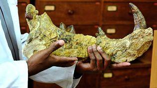 Le chef du département de paléontologie au Musée national de Nairobi, Job Kibii, présente le 23 mai 2019 des restes dusimbakubwa kutokaafrika. Ce redoutable prédateur à la mâchoire très tranchante, vivait au Kenya il y a qualque 23 millions d'années. (SIMON MAINA / AFP)