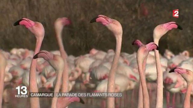 Camargue : la parade des flamants roses