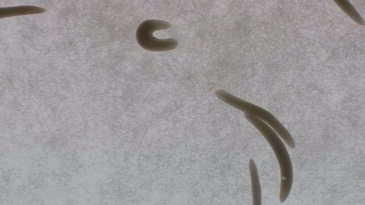 Envoyé dans l'espace, un ver est revenu avec deux têtes ! (BENOIT ZAGDOUN / FRANCEINFO)