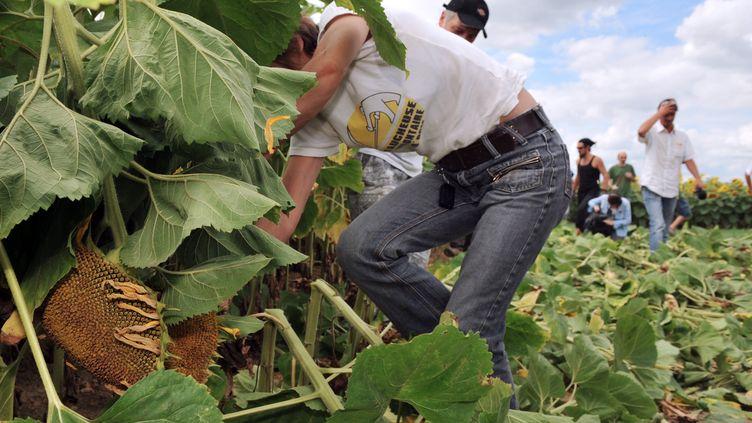 Des faucheurs volontaires détruisent des pieds de tournesol transgénique le 24 Juillet 2010. (Photo d'illustration) (ALAIN JOCARD / AFP)