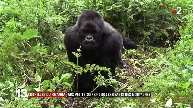 Feuilleton : gorilles, le tête-à-tête (4/5)
