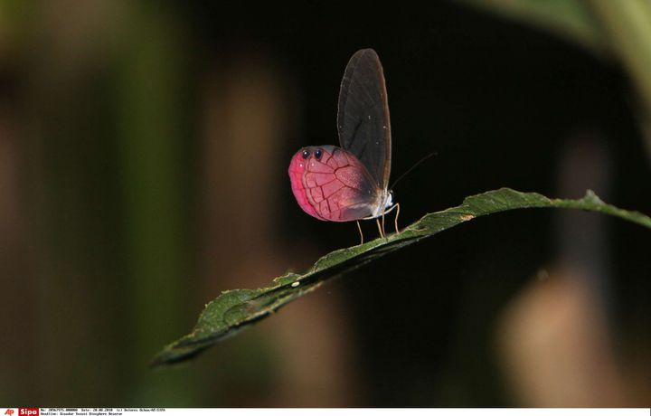 Un papillon, dans le parc de Yasuni, en Equateur. (DOLORES OCHOA / AP / SIPA)