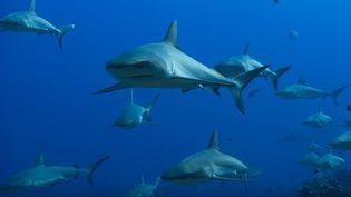 """Des requins filmés dans le film """"Blue"""" de Disneynature. (CAPTURE D'ÉCRAN YOUTUBE)"""