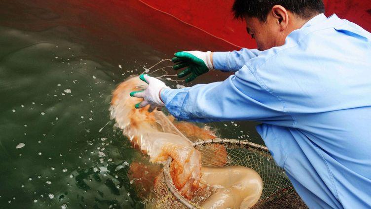 Un pêcheur attrape une méduse, mets très apprécié en Chine, à Qingdao, dans l'est de la Chine. (STR / ZH0122 / AFP China Xtra)