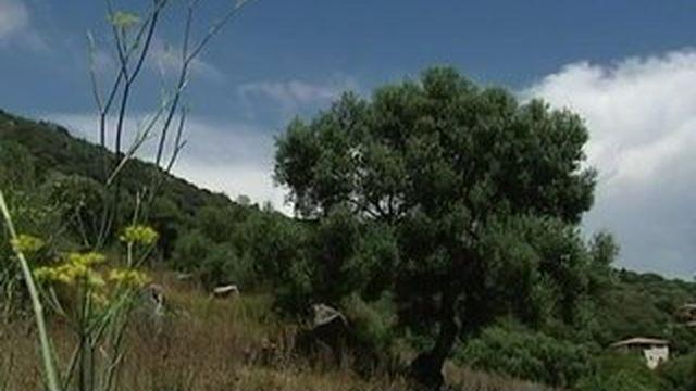 Corse : un plan d'urgence contre la Xylella Fastidiosa