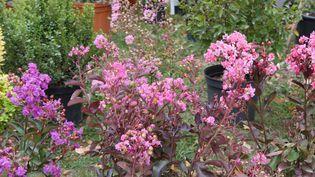 Le lilas des Indes peut être planté à l'automne ou au printemps. (ISABELLE MORAND / RADIO FRANCE)