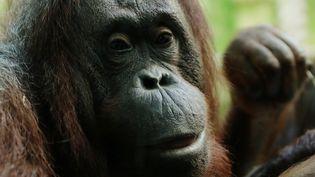 Un Orang-Outan dans la ménagerie du Jardin des Plantes (16 février 2018). (LP/AUR?LIE LADET / MAXPPP)