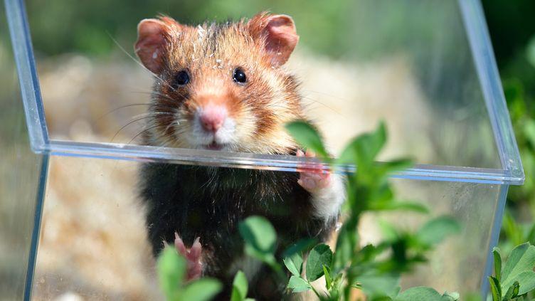 Les hamster font partie des espèces les plus réceptives au Covid-19, selon l'Anses (illustration). (UWE ANSPACH / DPA)