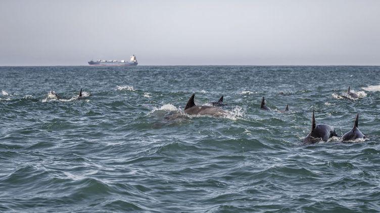 Un groupe de dauphins dans les eaux l'île Sainte-Croix, près de Port-Elizabeth en Afrique du Sud, photographié le 8 juillet 2020. (MARCO LONGARI / AFP)