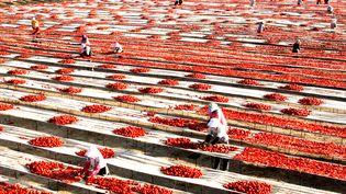Des ouvriers mettent des tomates à sécher, le 24 août 2014 à Korla, dans le Xinjiang (Chine).  (DU BINGXUN / XINHUA / AFP)